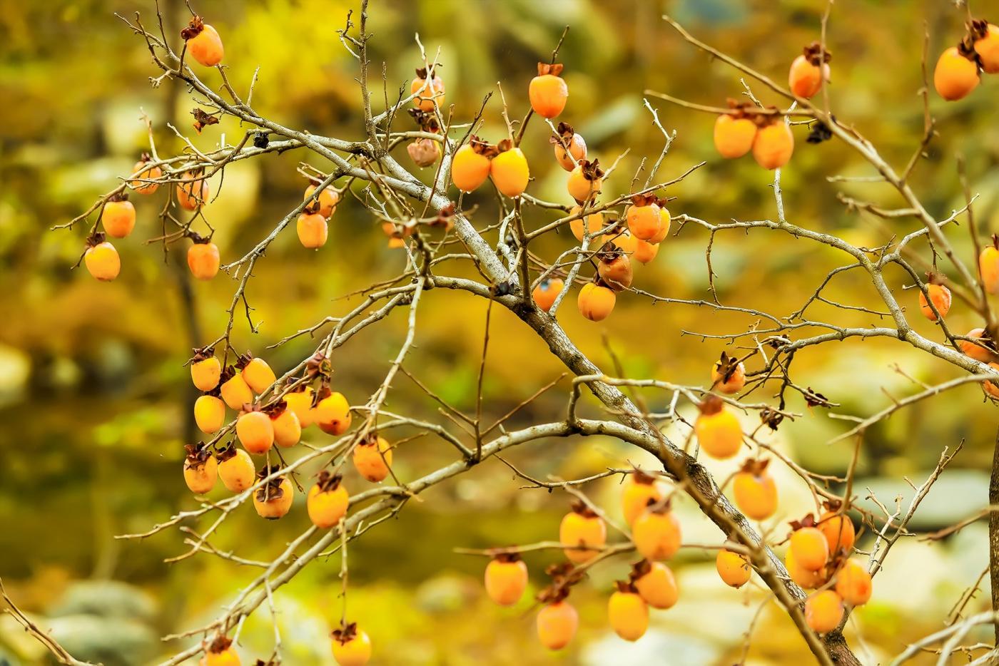 墙头累累柿子黄,人家秋获争登场---来自蒙山最后几枚柿子_图1-16