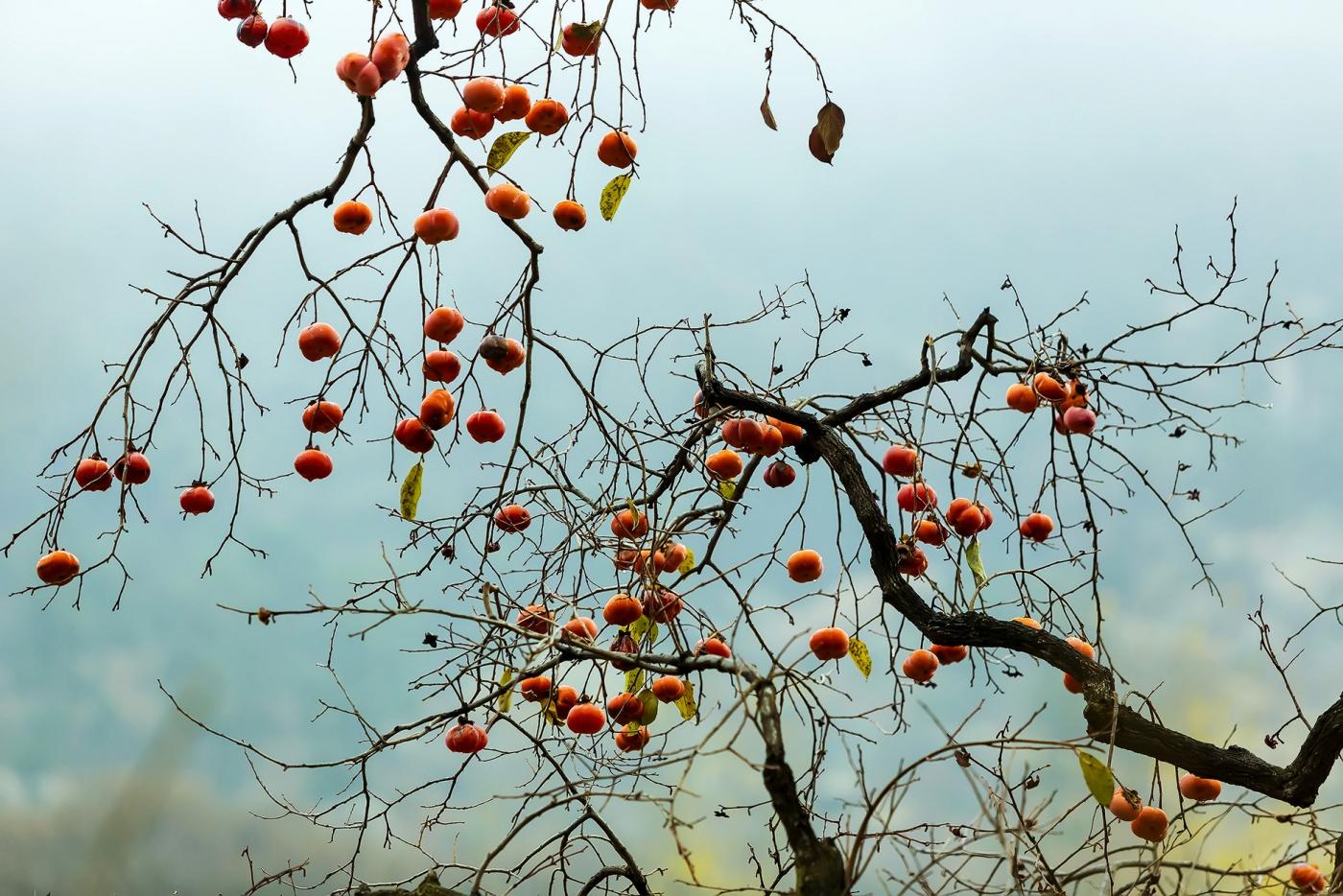 墙头累累柿子黄,人家秋获争登场---来自蒙山最后几枚柿子_图1-19