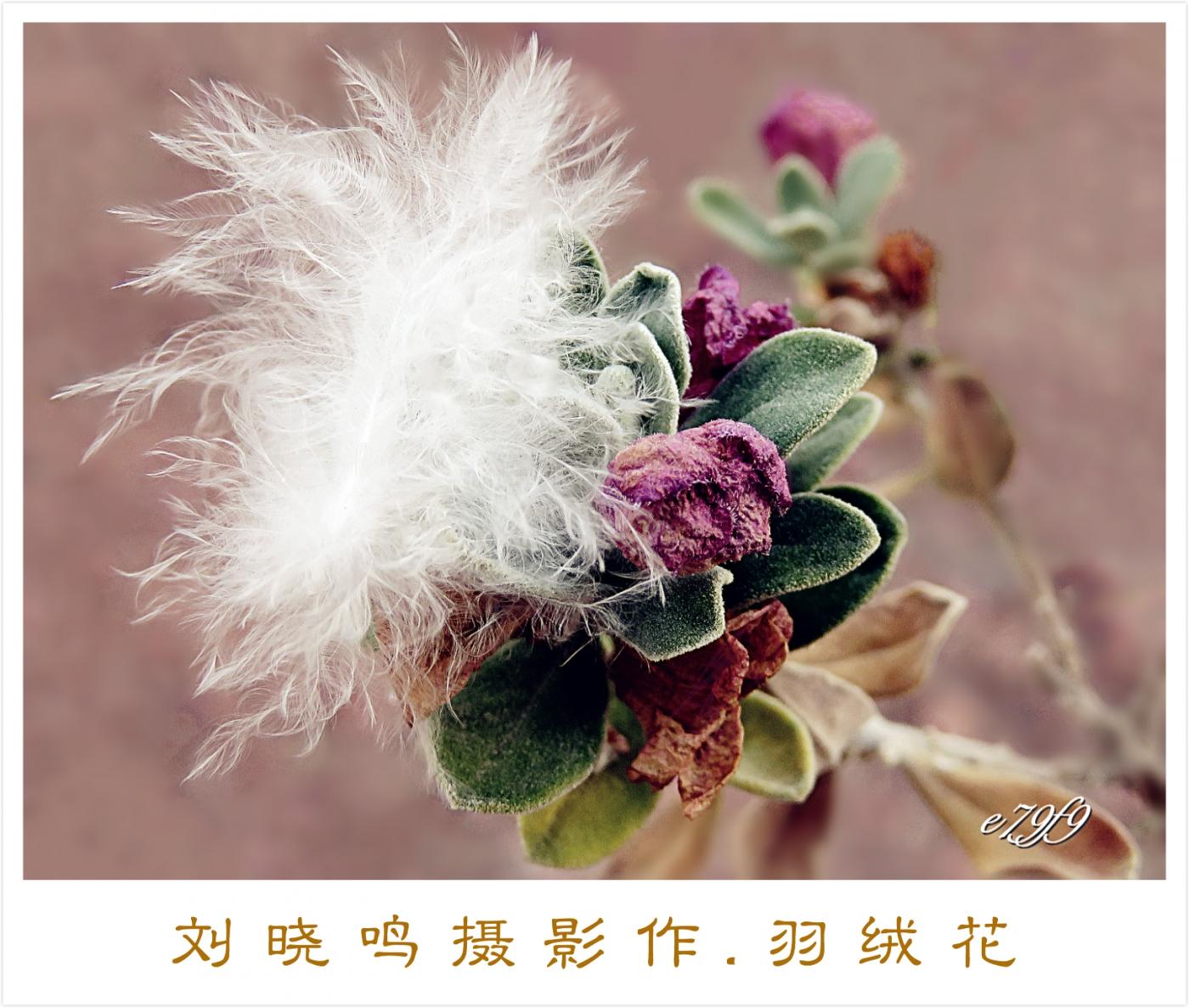 【摄影配诗】羽绒花_图1-1