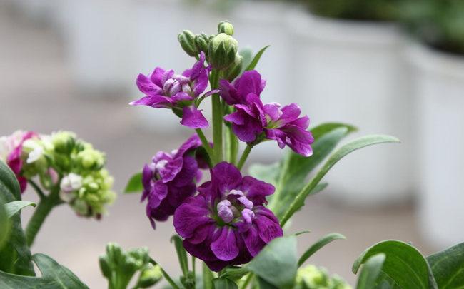 紫罗兰_图1-4
