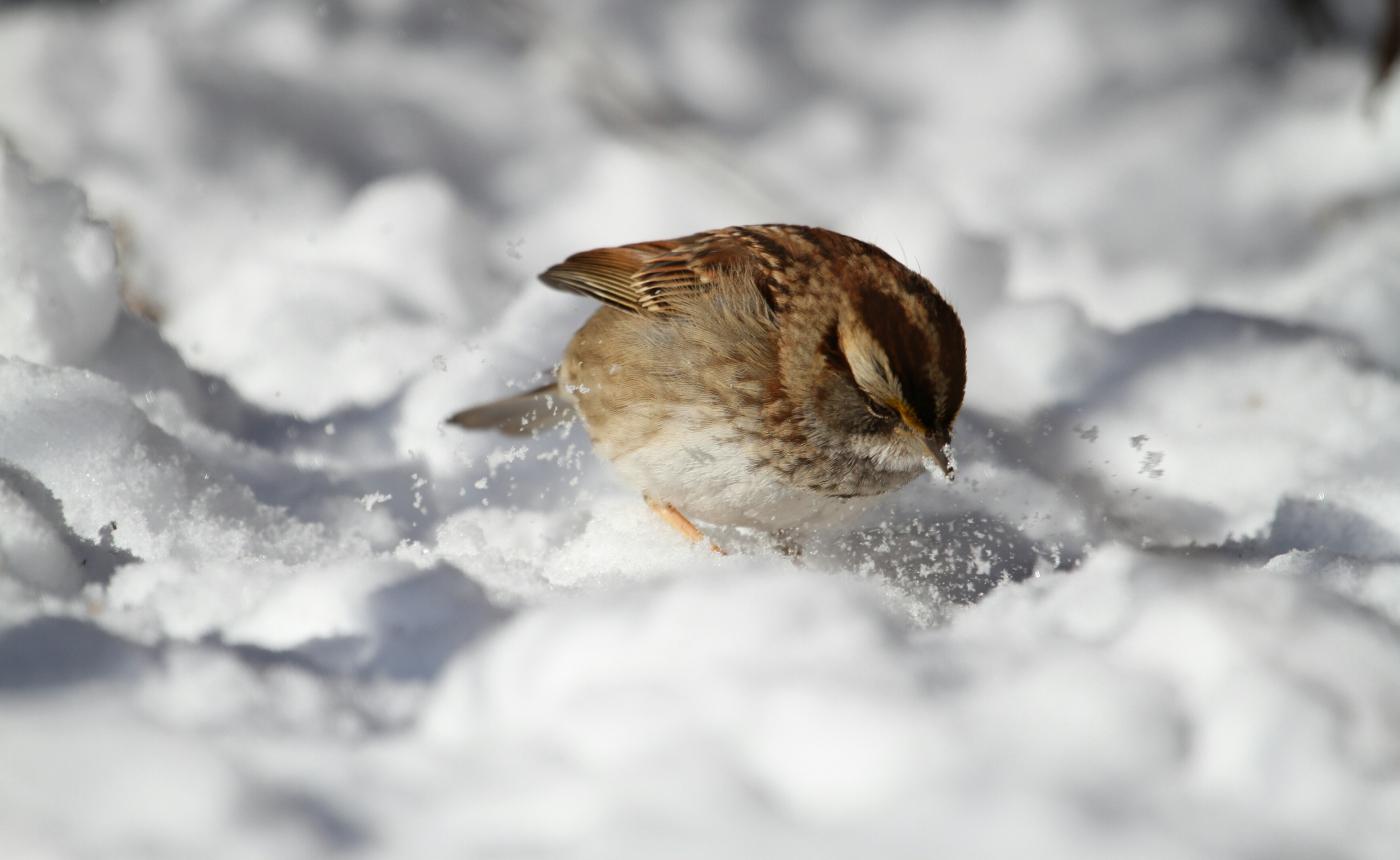 【田螺摄影】雪后去拍鸟随拍_图1-4