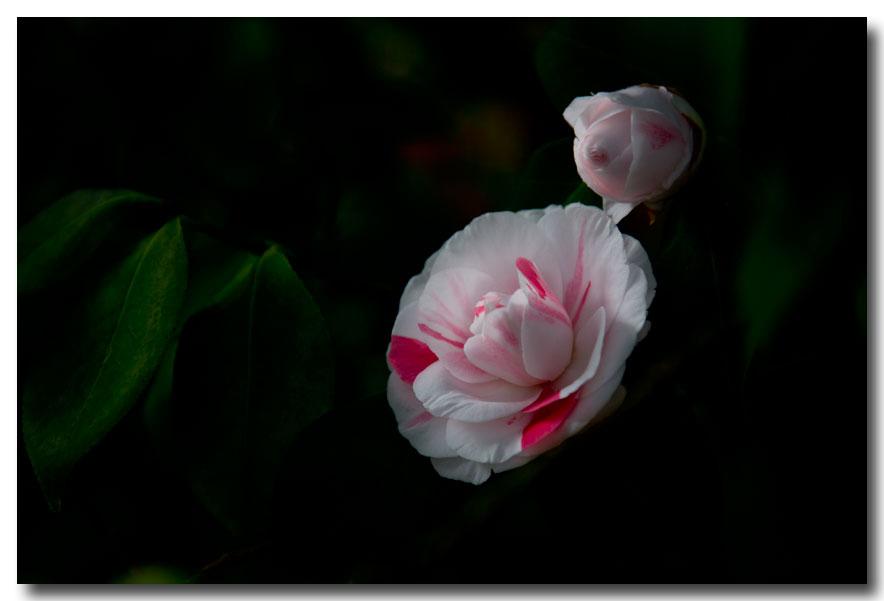 《酒一船摄影》:山茶花开又一春_图2-1