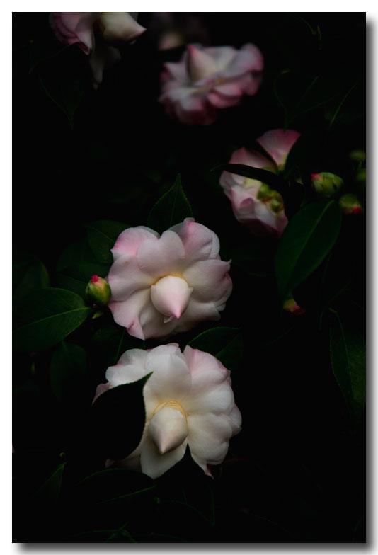 《酒一船摄影》:山茶花开又一春_图2-3