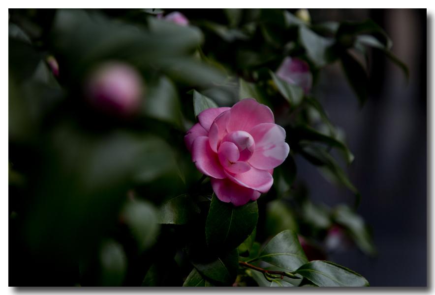 《酒一船摄影》:山茶花开又一春_图2-17