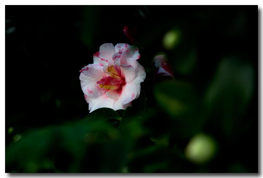 《酒一船摄影》:山茶花开又一春_图2-22