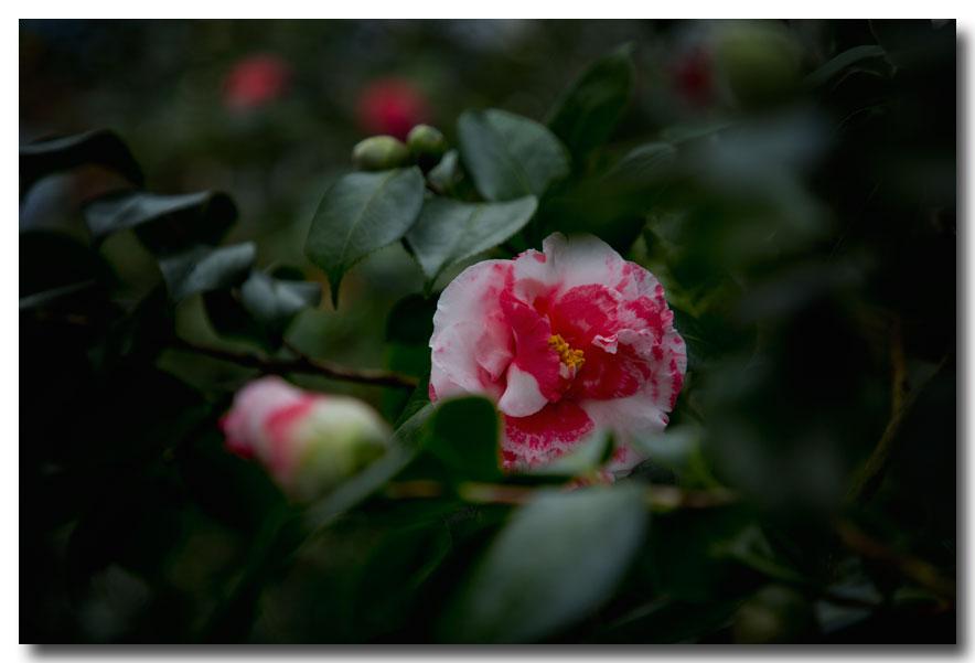 《酒一船摄影》:山茶花开又一春_图2-21