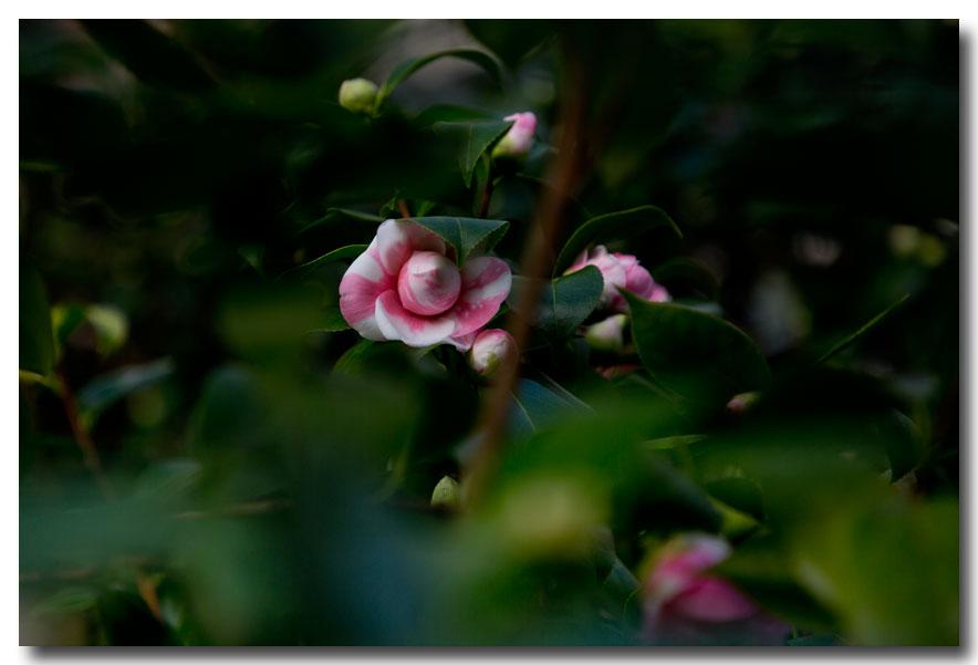 《酒一船摄影》:山茶花开又一春_图2-23
