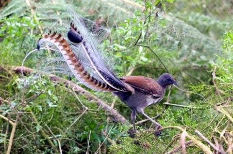 背弦琴的歌手琴鸟_图1-1