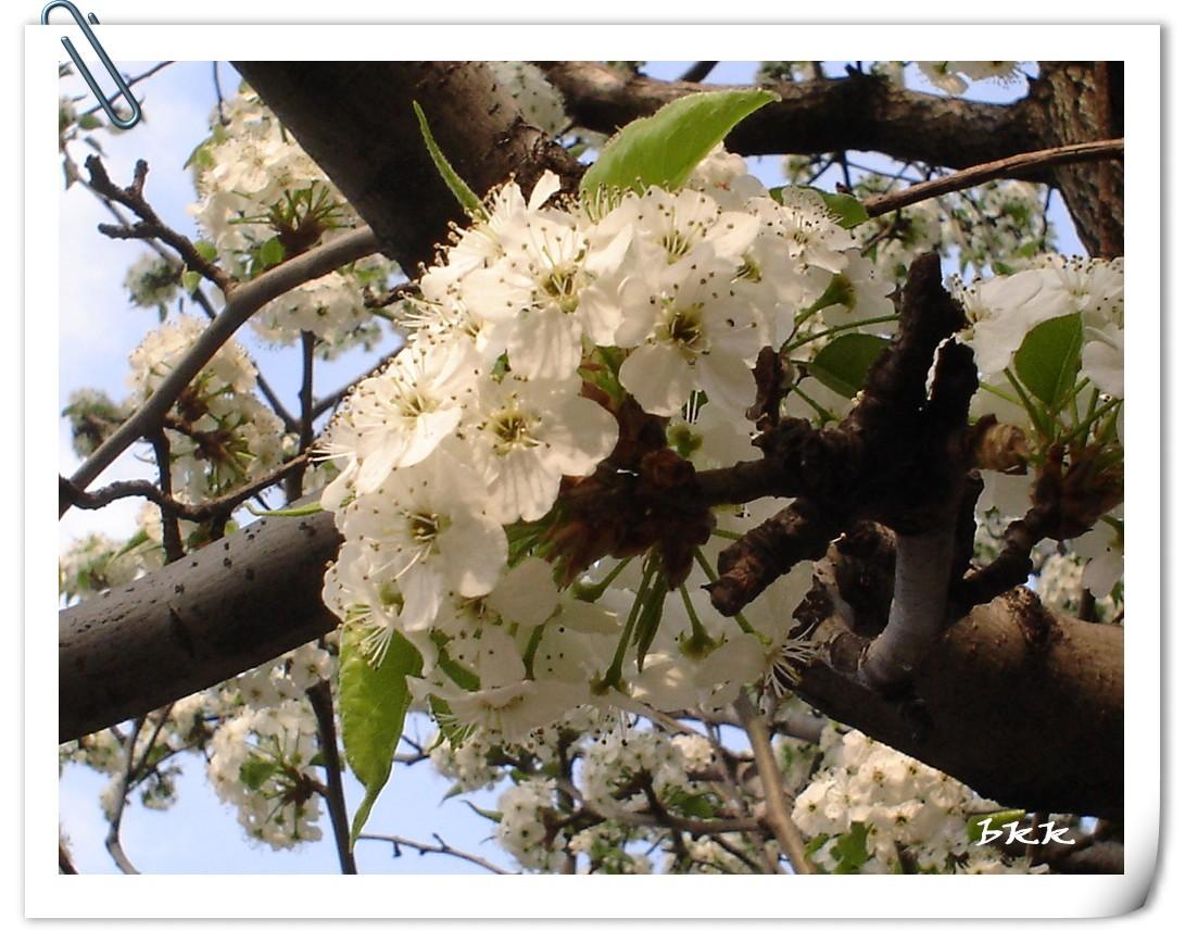 梨花和我_图1-1