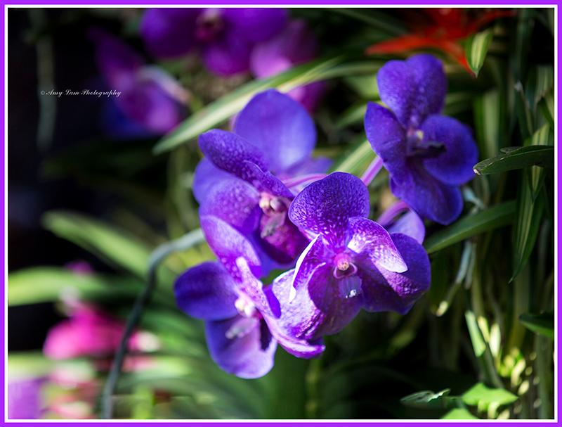 纽约植物园兰花展_图1-35