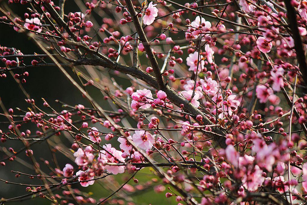 山花烂漫时,梅在丛中笑_图1-8