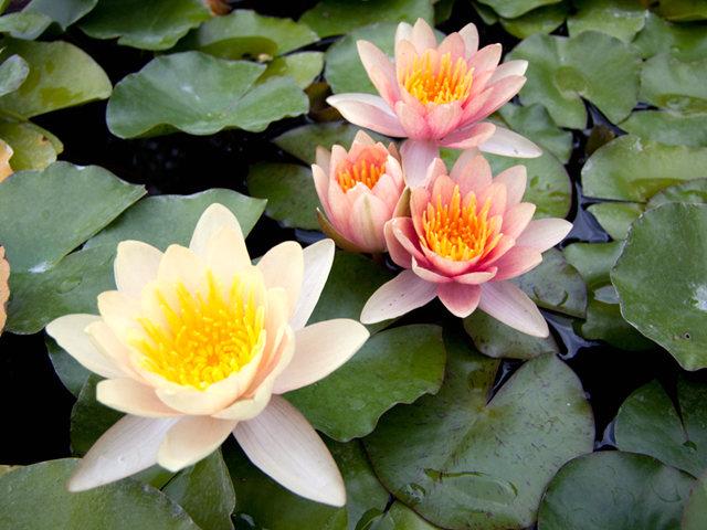 清水出芙蓉,天然现雕饰_水福花园拍莲花   1_图1-15