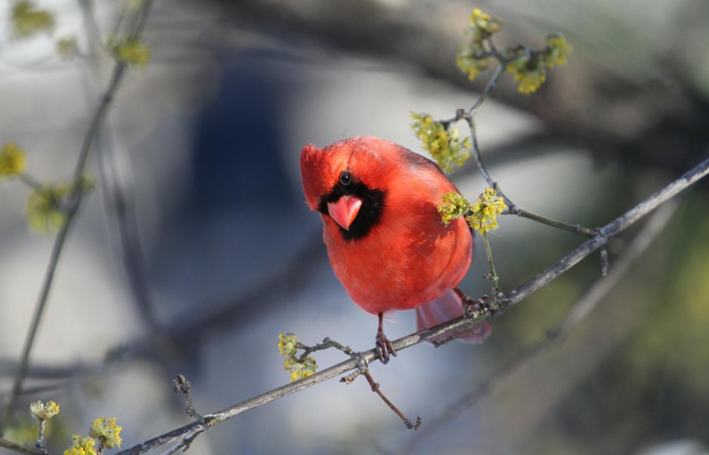 【田螺摄影】春鸟画、红衣主教_图1-18
