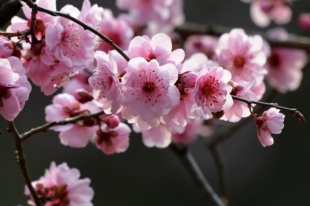 盛开的红梅花_图1-1