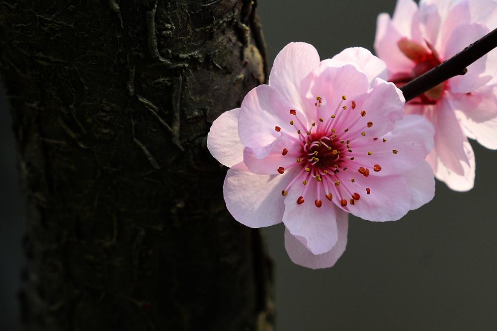 盛开的红梅花_图1-2