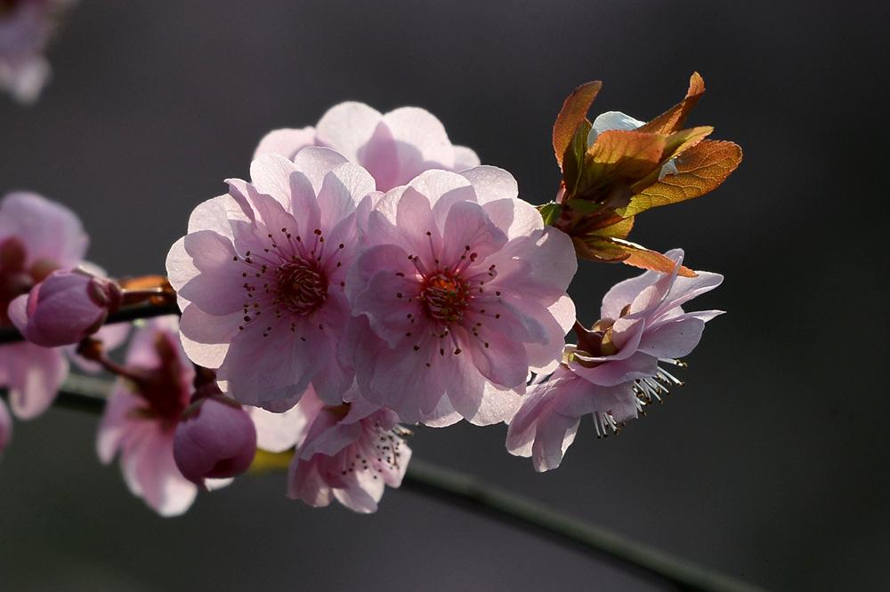 盛开的红梅花_图1-3