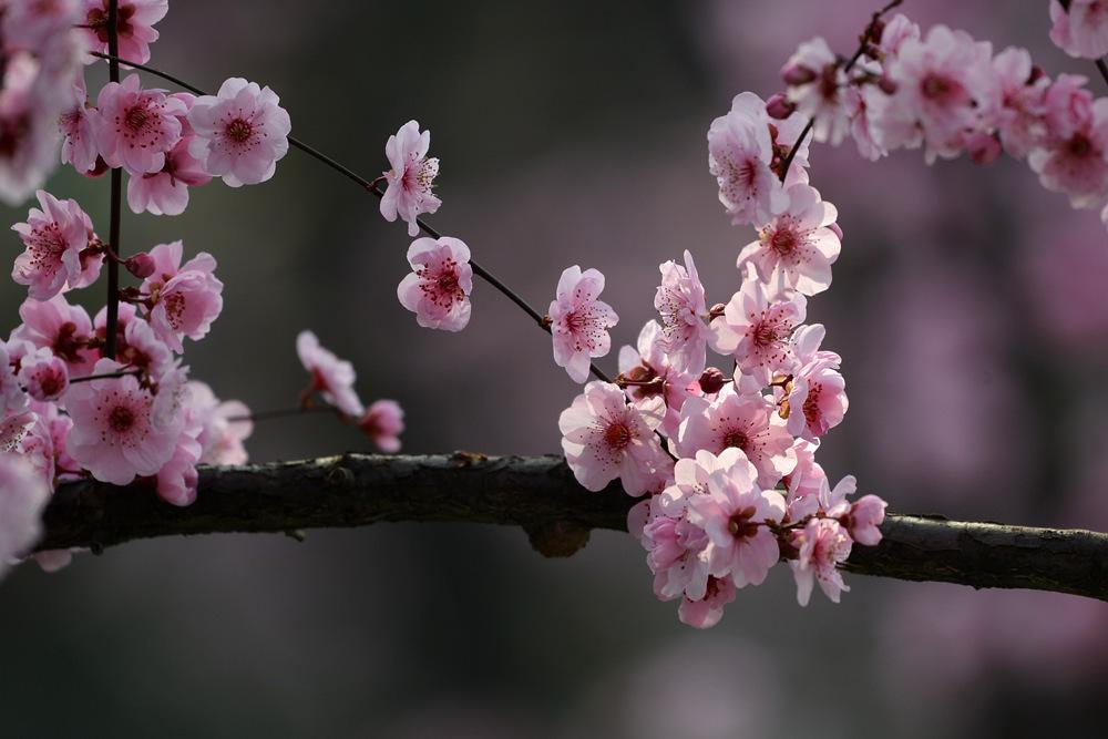 盛开的红梅花_图1-4