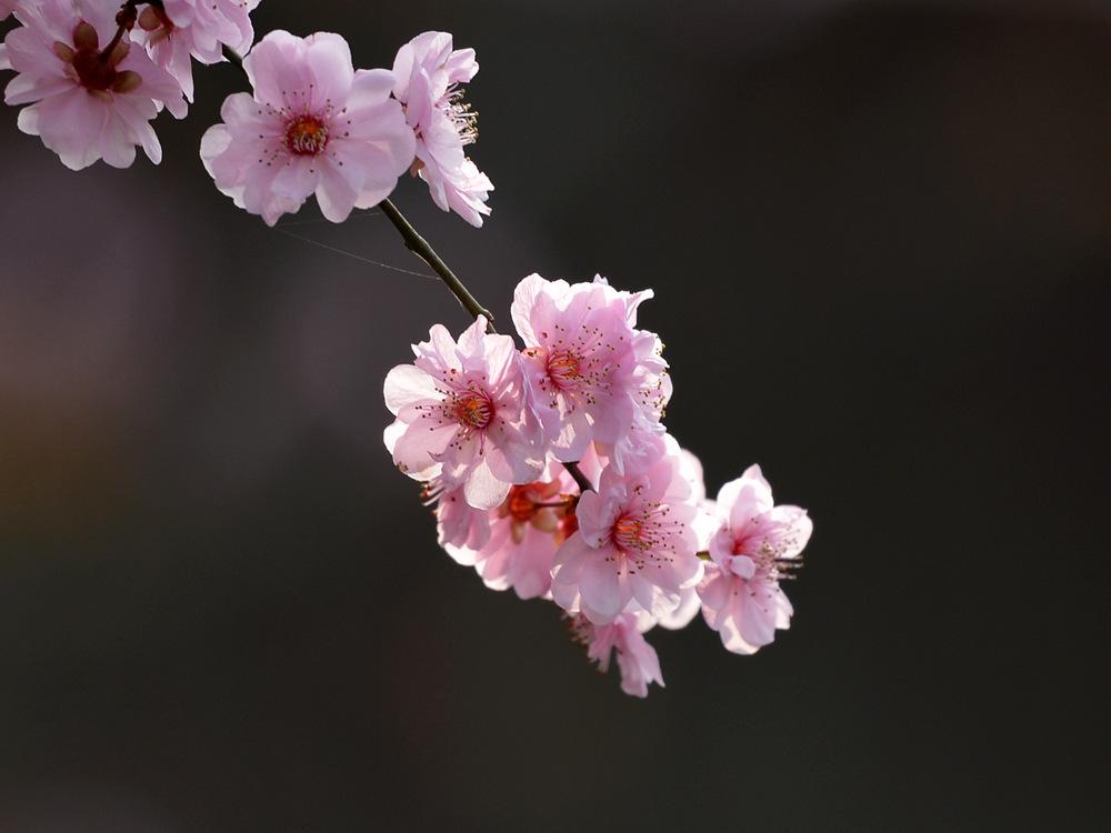 盛开的红梅花_图1-5
