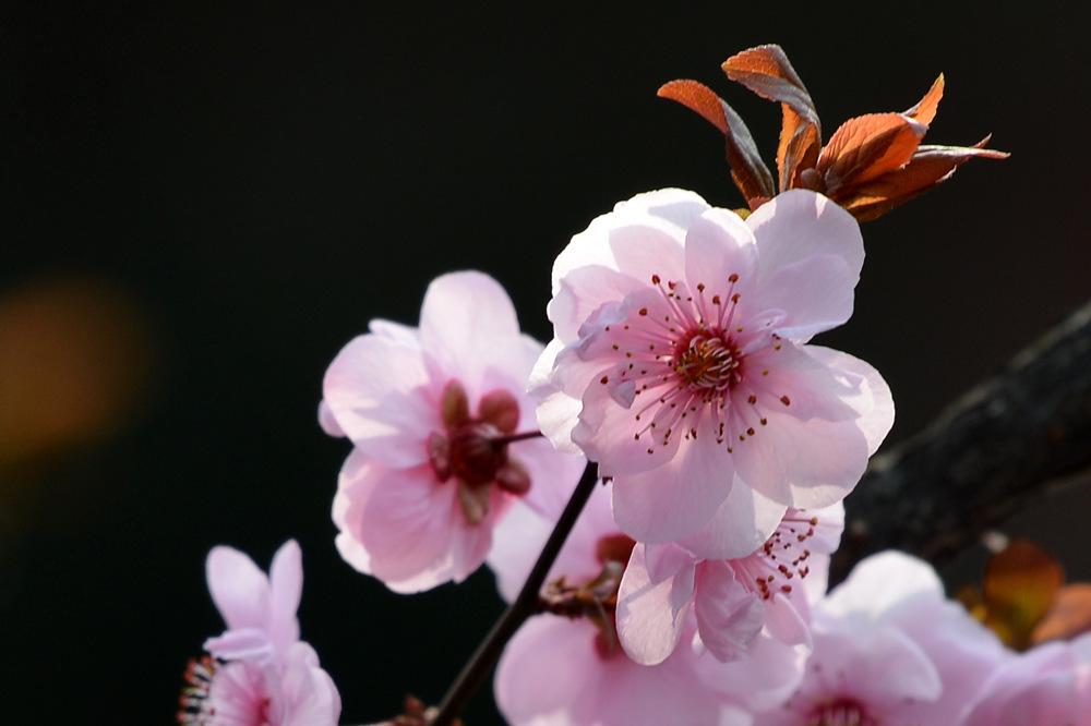 盛开的红梅花_图1-6