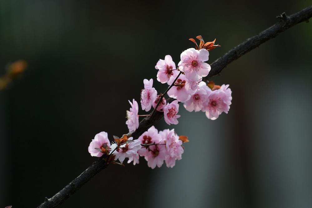 盛开的红梅花_图1-7