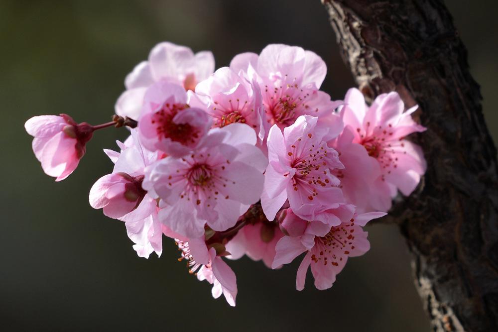 盛开的红梅花_图1-8