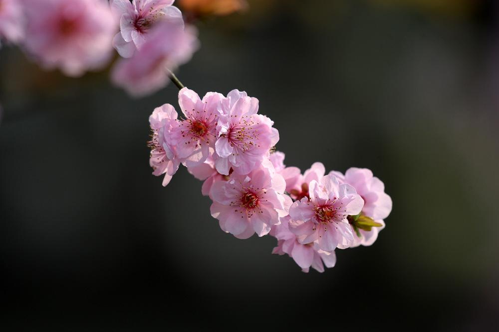 盛开的红梅花_图1-9