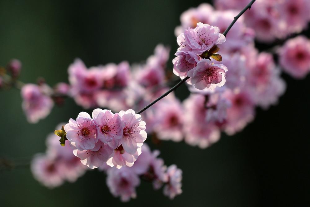 盛开的红梅花_图1-10