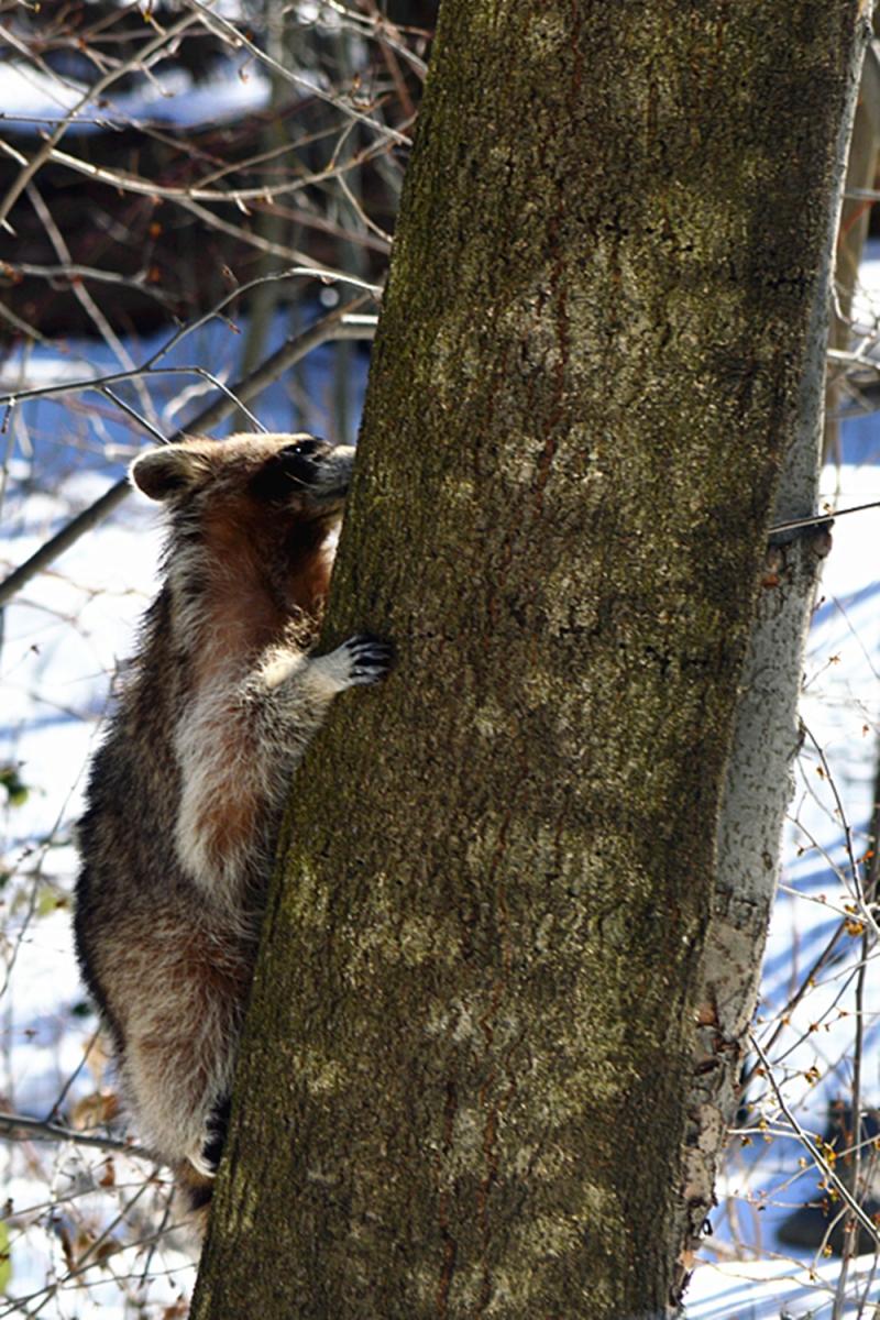 美丽的中央公园: 浣熊的故事_图1-1