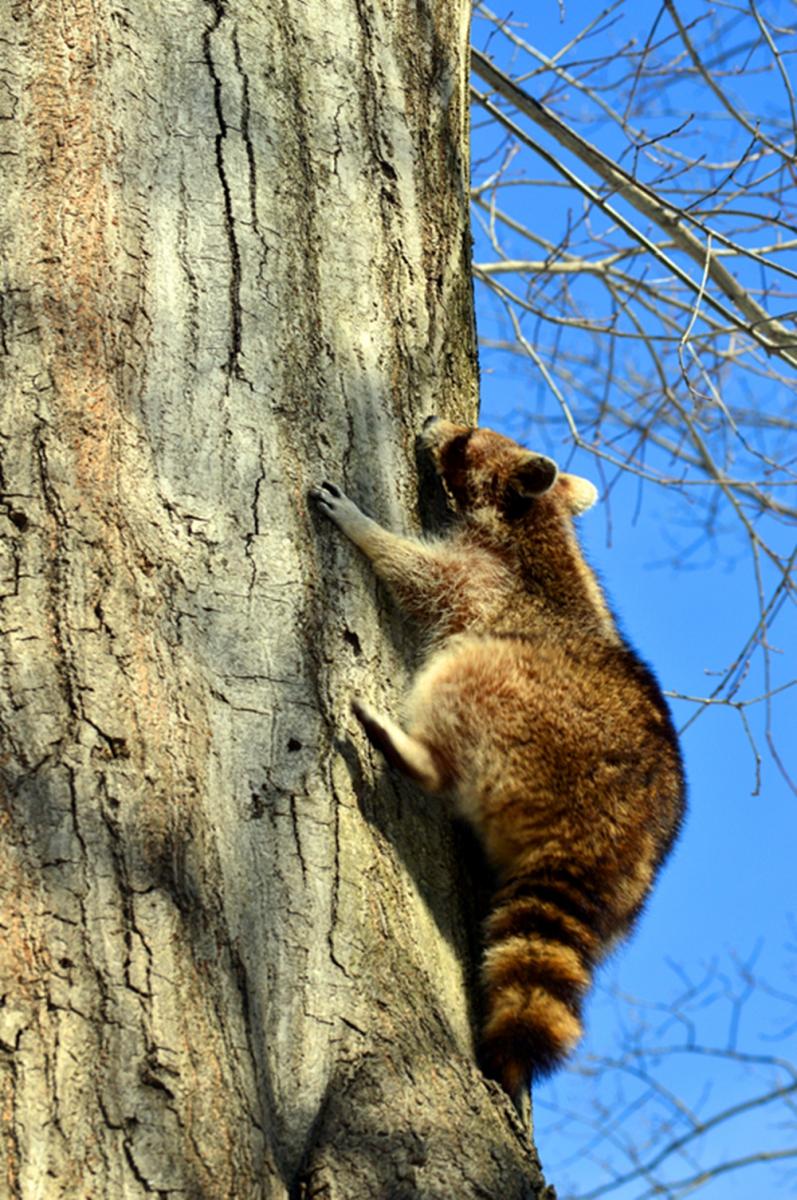 美丽的中央公园: 浣熊的故事_图1-2