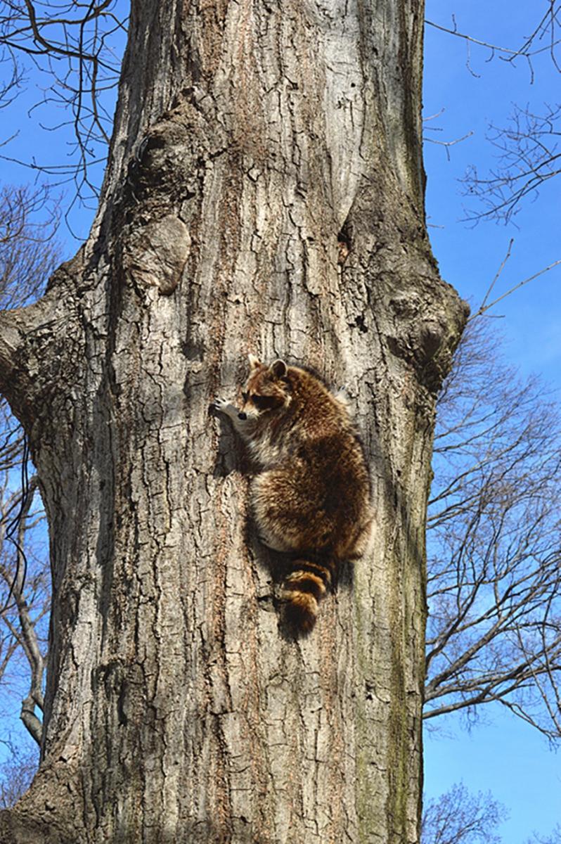 美丽的中央公园: 浣熊的故事_图1-3