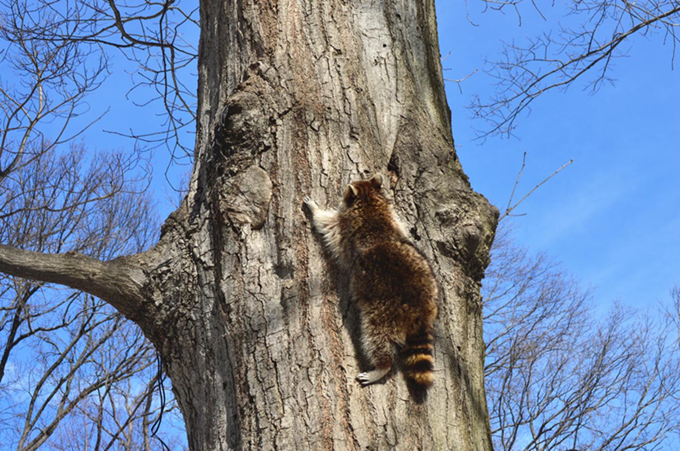 美丽的中央公园: 浣熊的故事_图1-4