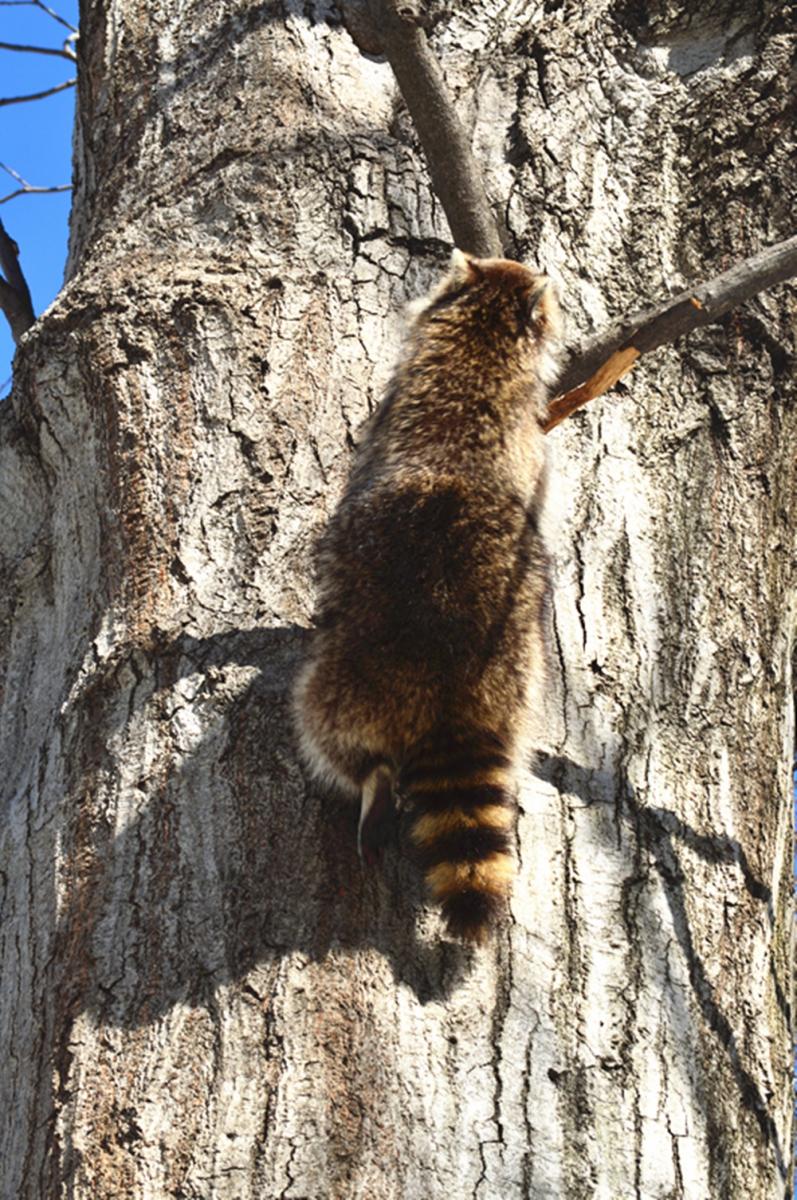 美丽的中央公园: 浣熊的故事_图1-5
