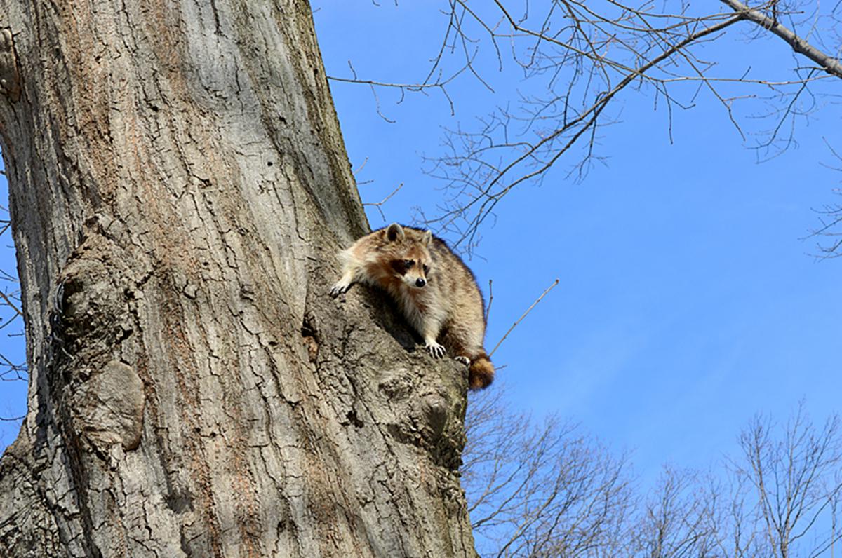 美丽的中央公园: 浣熊的故事