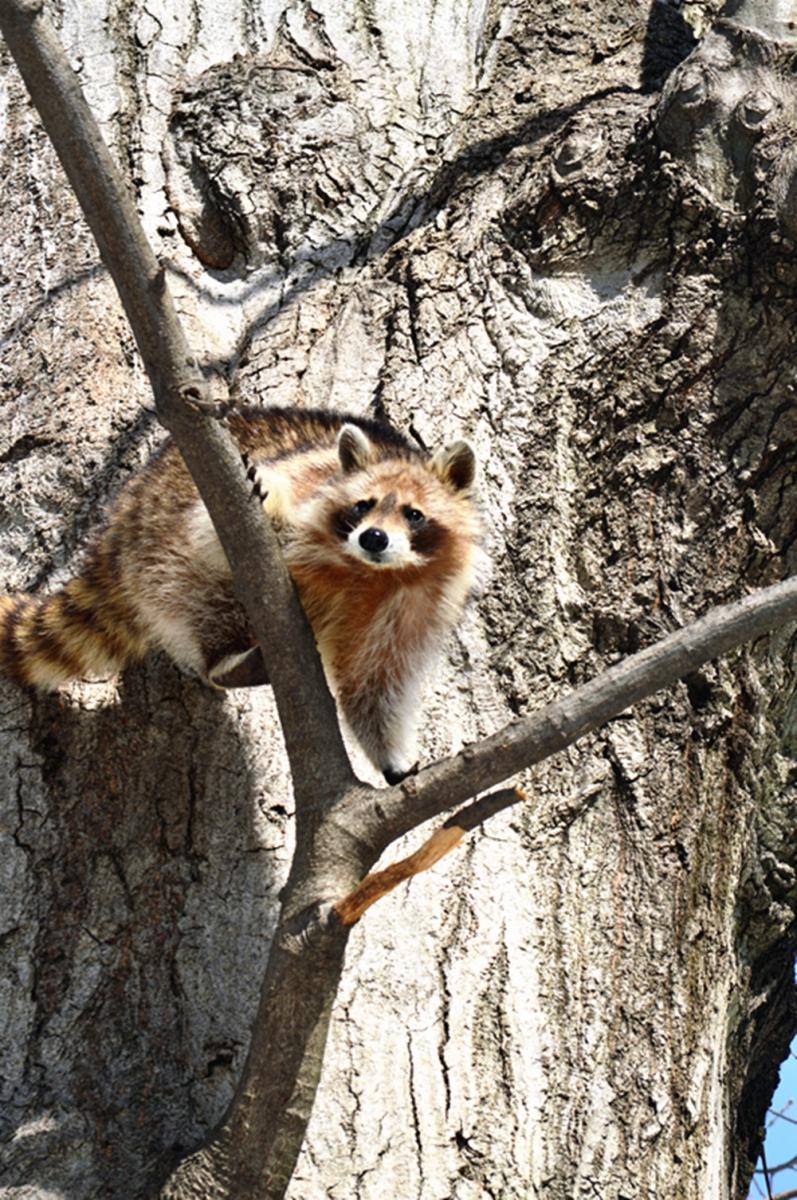 美丽的中央公园: 浣熊的故事_图1-8