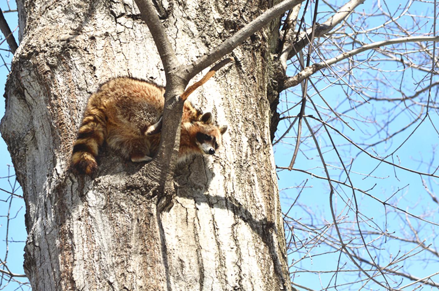 美丽的中央公园: 浣熊的故事_图1-9