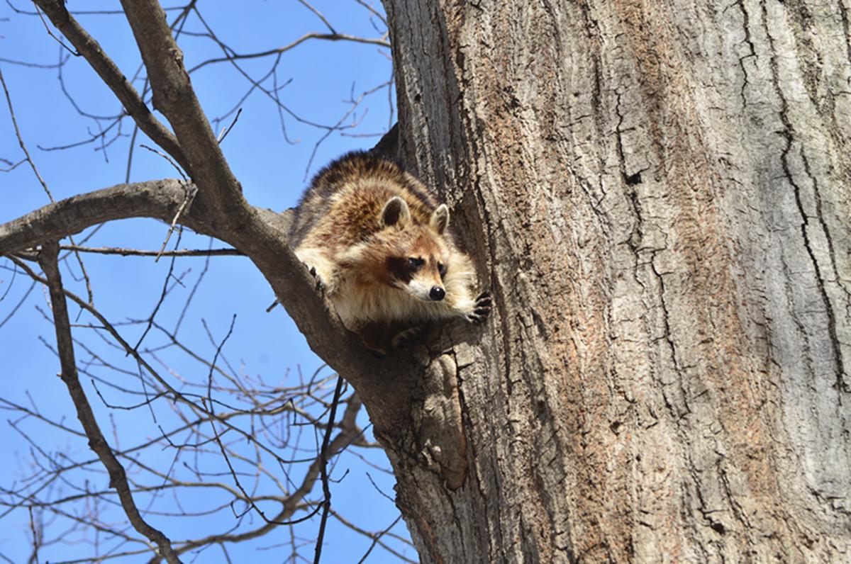 美丽的中央公园: 浣熊的故事_图1-10