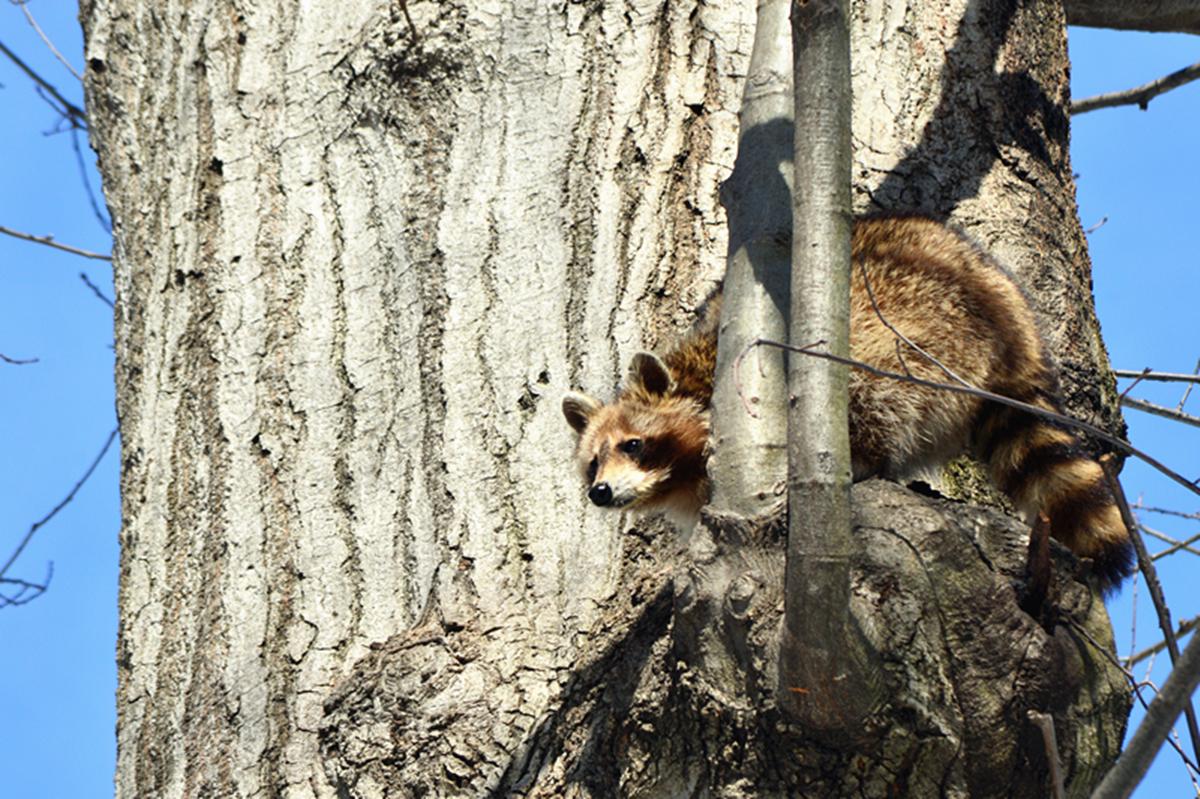 美丽的中央公园: 浣熊的故事_图1-11