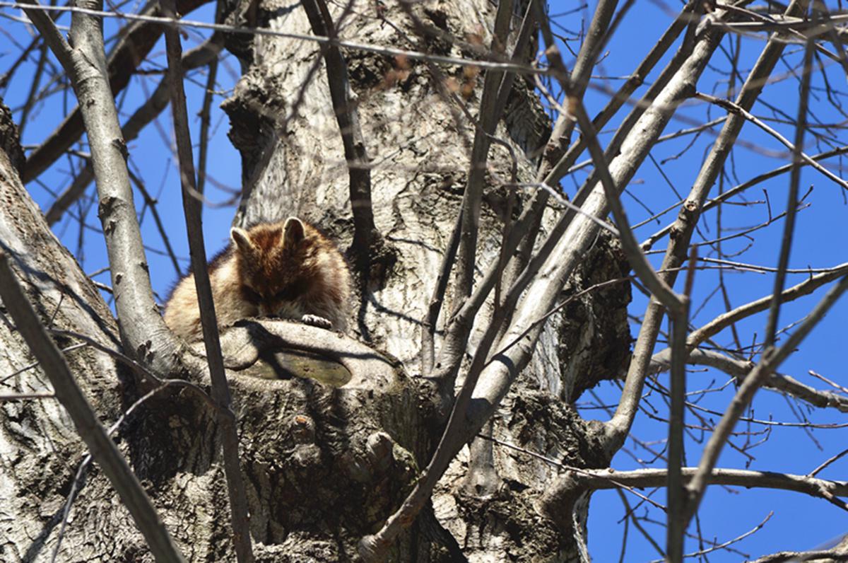 美丽的中央公园: 浣熊的故事_图1-12