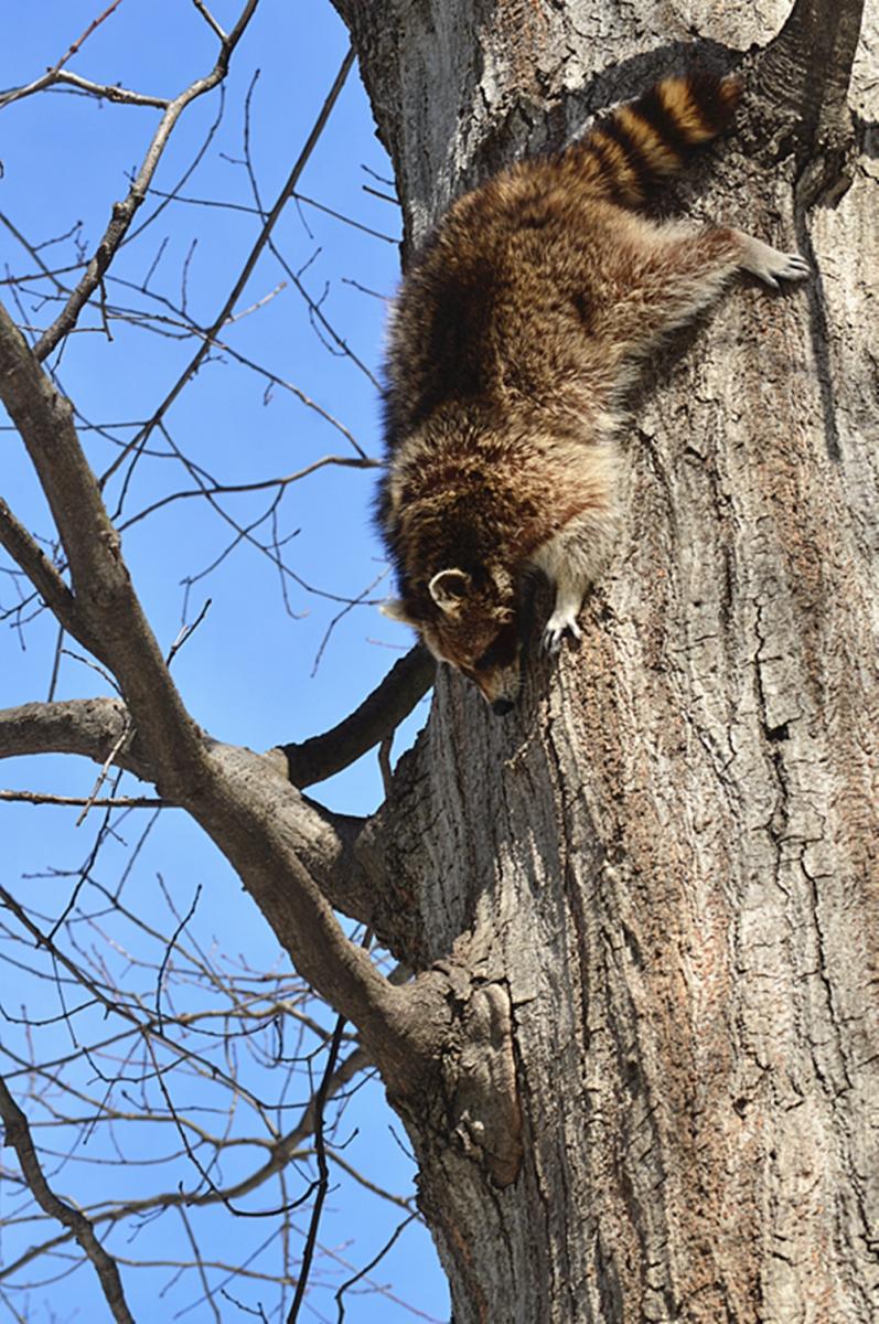 美丽的中央公园: 浣熊的故事_图1-13