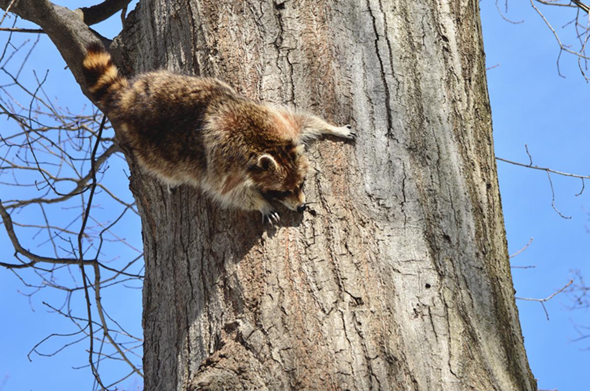 美丽的中央公园: 浣熊的故事_图1-14