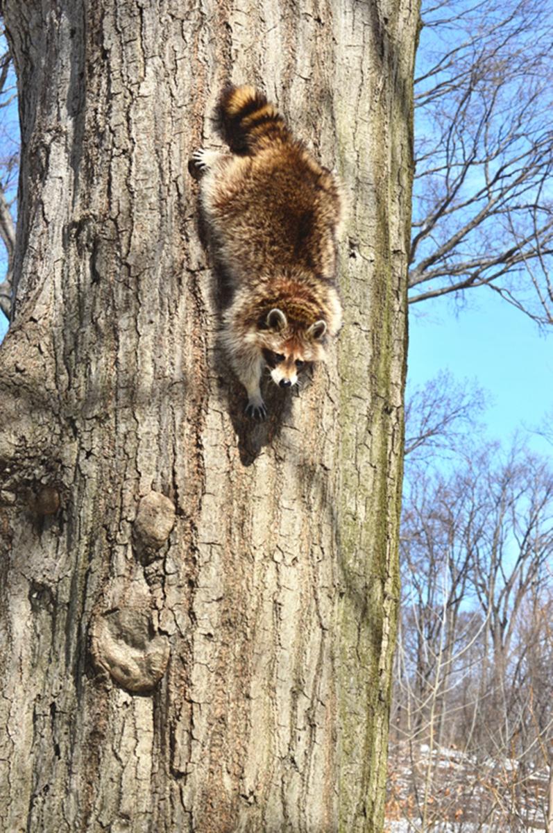 美丽的中央公园: 浣熊的故事_图1-15