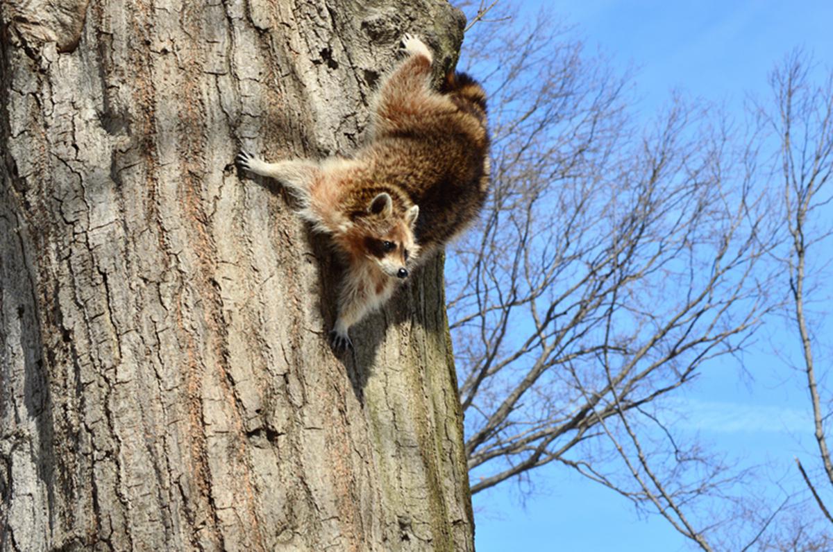 美丽的中央公园: 浣熊的故事_图1-16