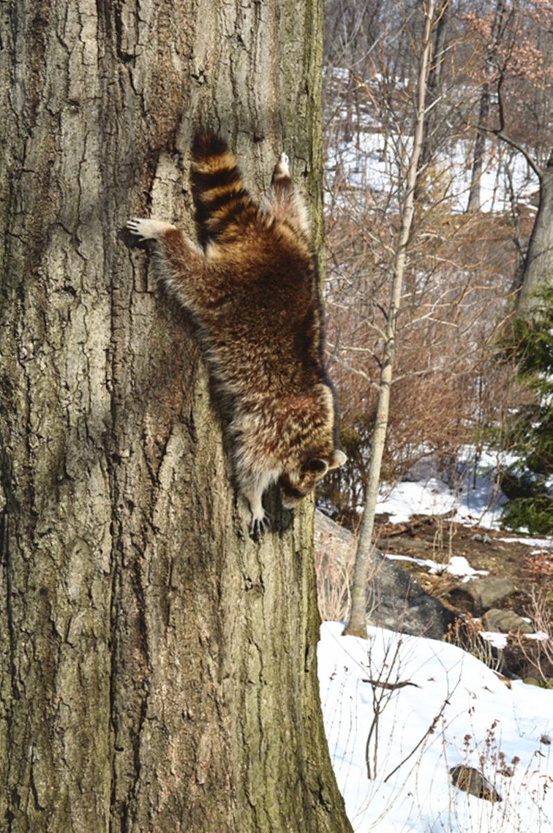 美丽的中央公园: 浣熊的故事_图1-17