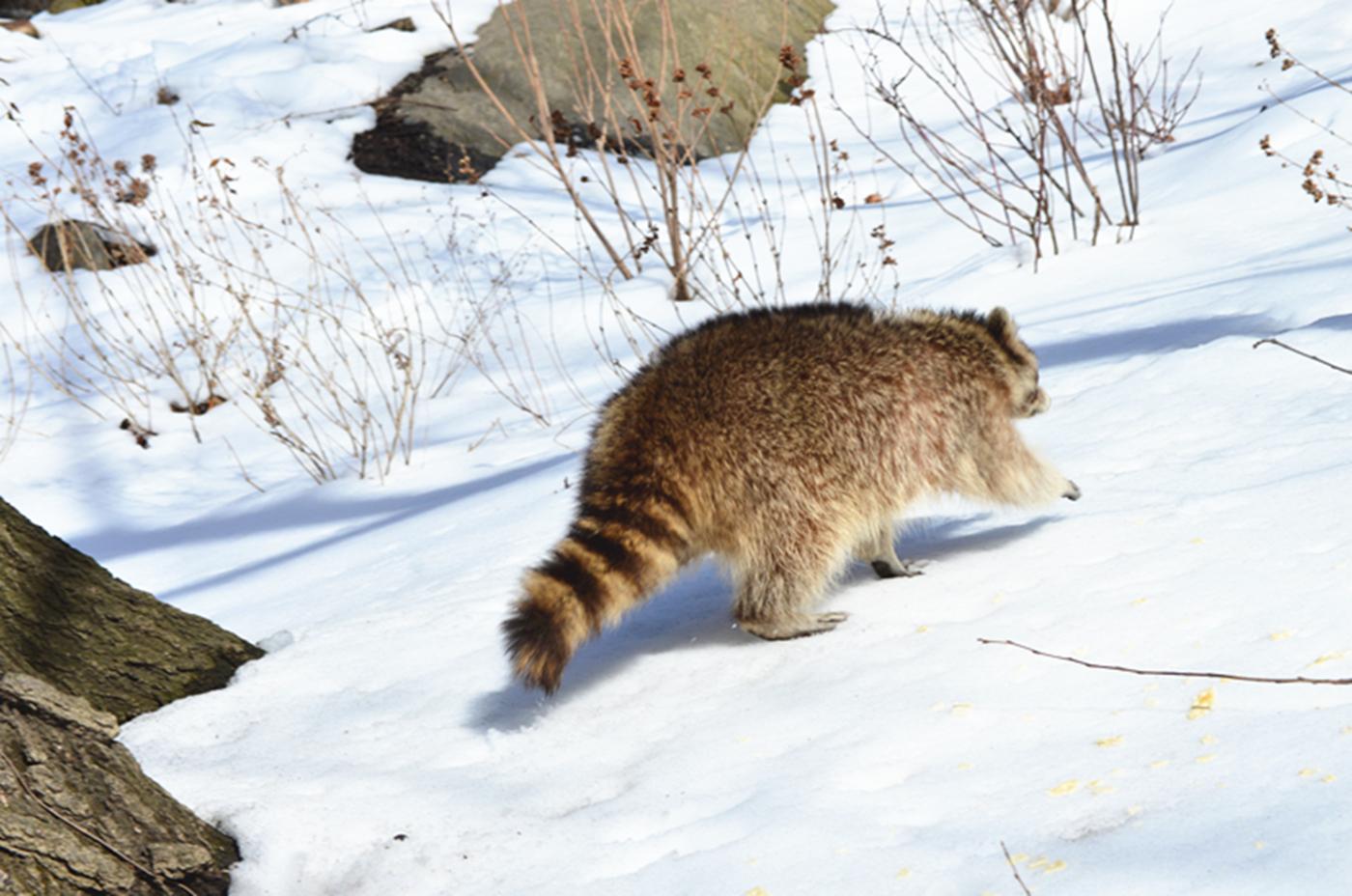 美丽的中央公园: 浣熊的故事_图1-18