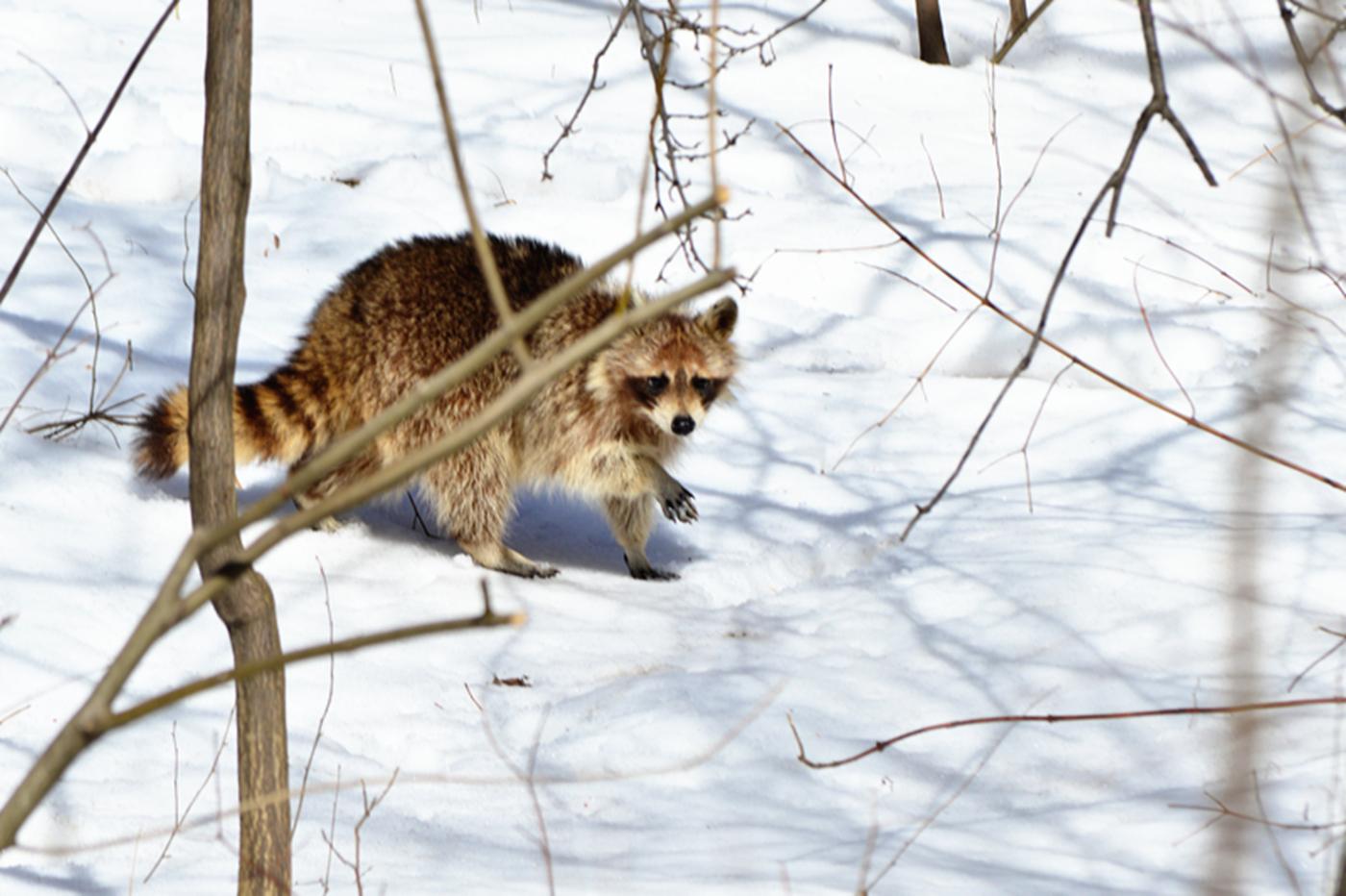 美丽的中央公园: 浣熊的故事_图1-19