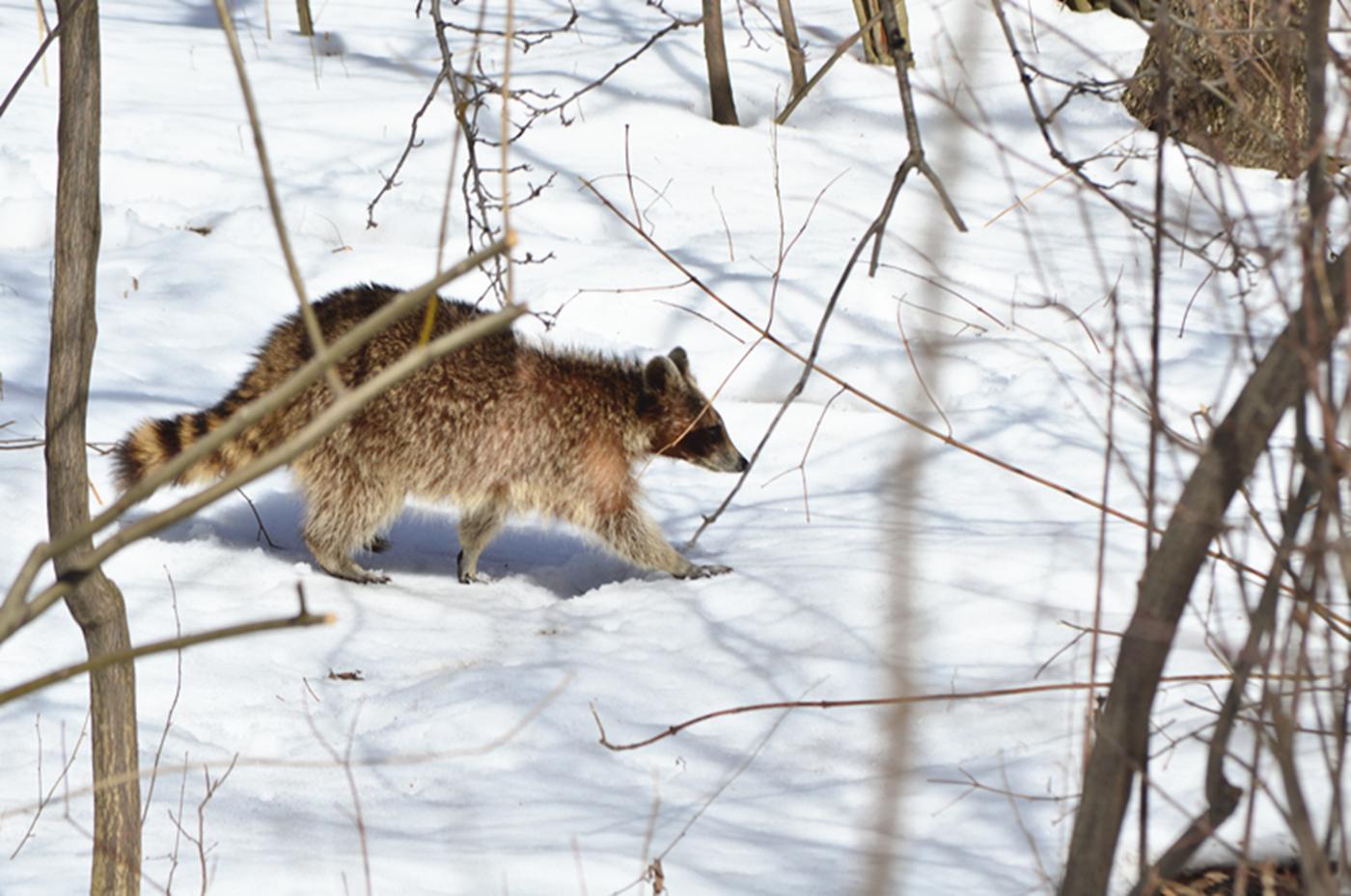 美丽的中央公园: 浣熊的故事_图1-20