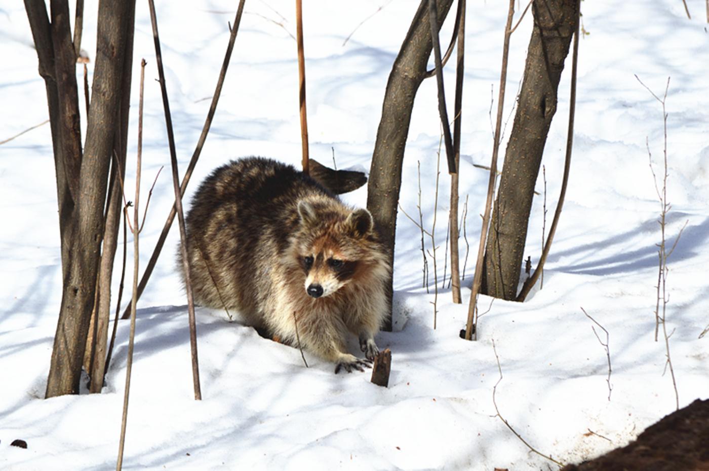 美丽的中央公园: 浣熊的故事_图1-21