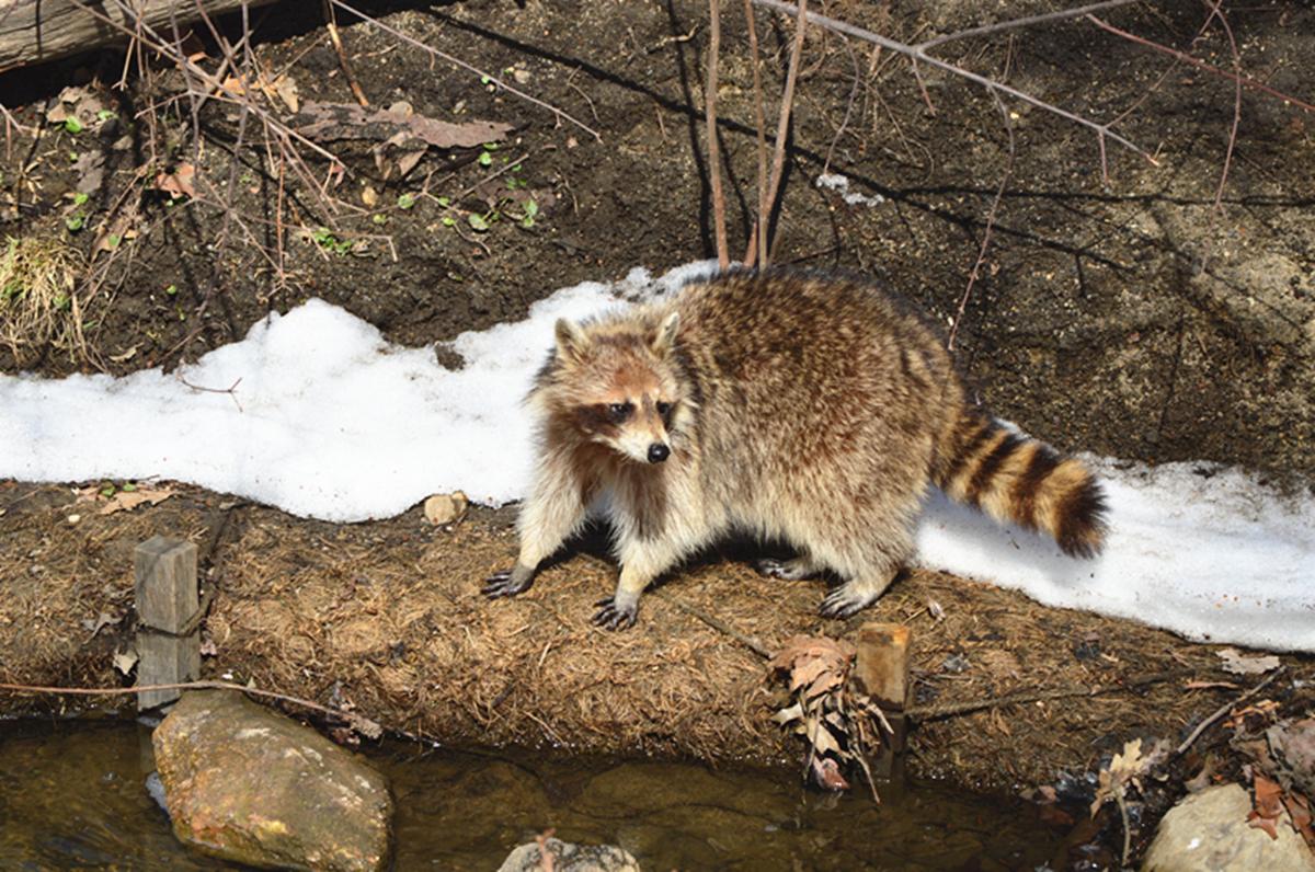 美丽的中央公园: 浣熊的故事_图1-22