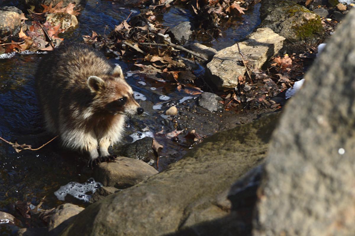 美丽的中央公园: 浣熊的故事_图1-23