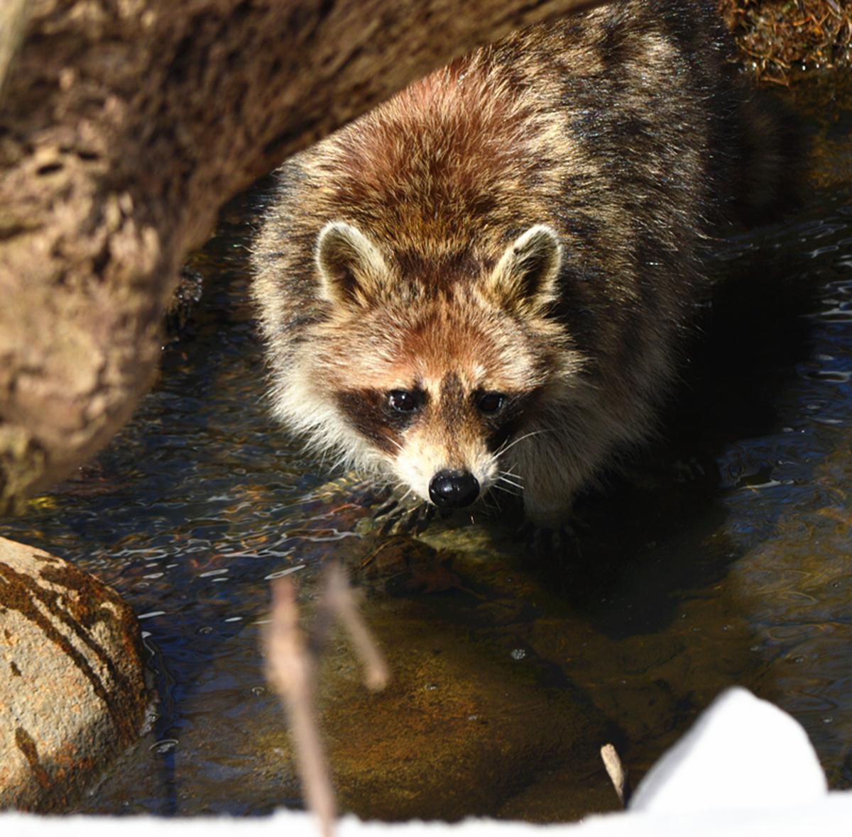 美丽的中央公园: 浣熊的故事_图1-24